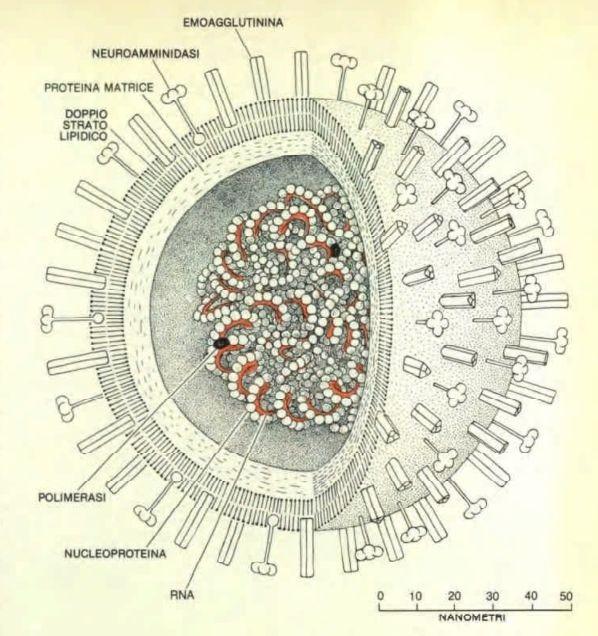 http://www.energialternativa.info/public/newforum/ForumEA/U/Disegno-Coronavirus.jpg